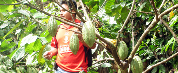 Cacao is a traditional Tsa'chila product as it is native to the region